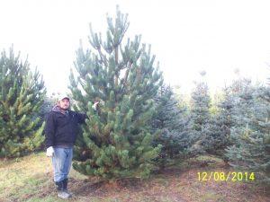 Pinus Nigra Oregon Green Wellsnurseriescom